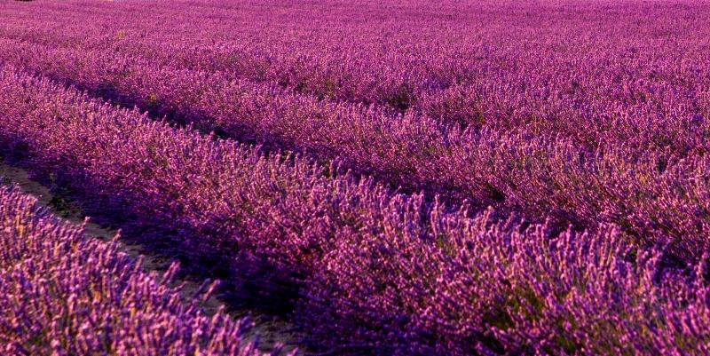 Lavande / Lavender